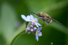 bombylius_major_00001
